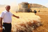 Dev makarnacıların peşinde olduğu Araban buğdayı hasadı başladı